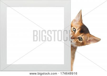Curious Abyssinian Kitty Looking from frame and bite on Isolated White Background