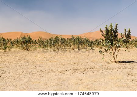 The sand dunes of the desert Erg Chegaga in Morocco with some trees in the foreground.