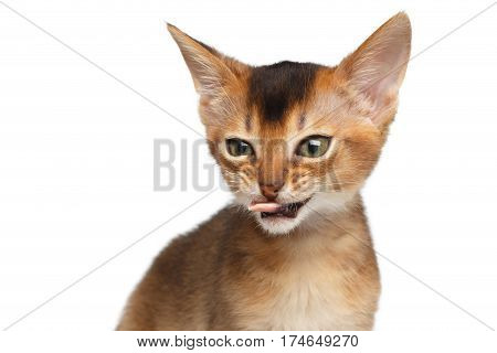 Portrait of Bad Abyssinian Kitty on Isolated White Background, making faces, showing tongue