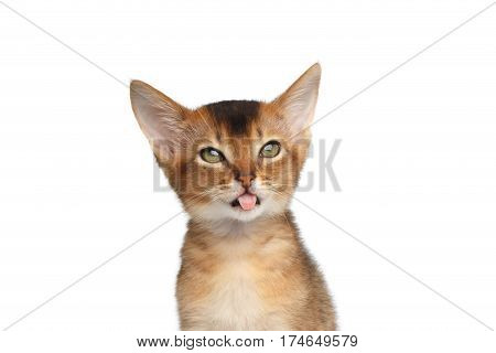 Portrait of stupid Abyssinian Kitty on Isolated White Background, making faces