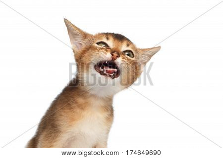 Stupid Abyssinian Kitty on Isolated White Background, making faces, showing tongue