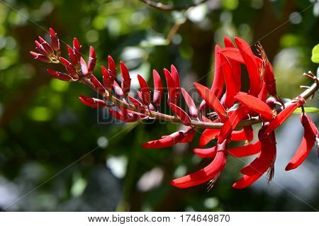 Erythrina bidwillii close up view of the flowers