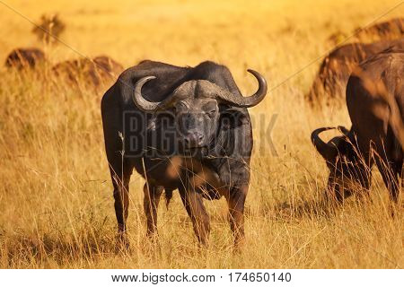 Male buffalo bull with huge horns standing on dry grass plain, Africa