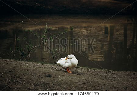 Cute White Duck Standing On Dirt Ground Near Pond In The Countryside, Domesticated Duck Bird Near La