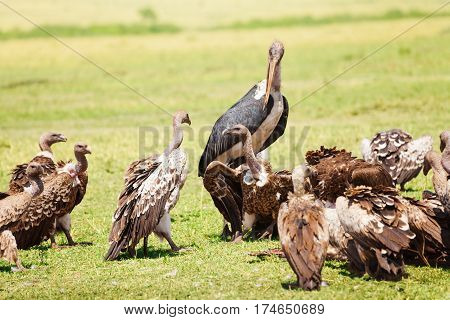 Marabou stork and vultures eating carrion in Kenyan savannah, Africa
