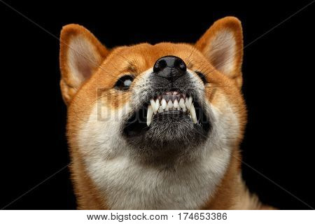 Aggressive Portrait of Growls Shiba inu Dog, Isolated Black Background, Front view