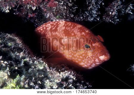 A Red Flagtail Grouper Fish, Cephalopholis urodelis sits in a crevice ready to ambush prey on a Pacific reef in the Kwajalein Atoll