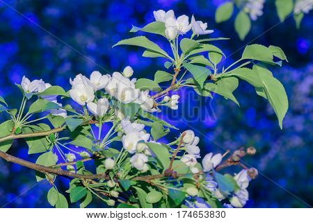 apple-tree flowers. Spring garden - Blooming Tree. blossom apple tree. Beautiful blooming of apple trees over blue sky in spring par