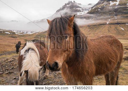 Icelandic horses along the Snaefellsnes Peninsula of Iceland
