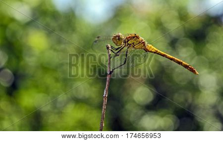 Dragonfly insect that has landed on a branch in the park.