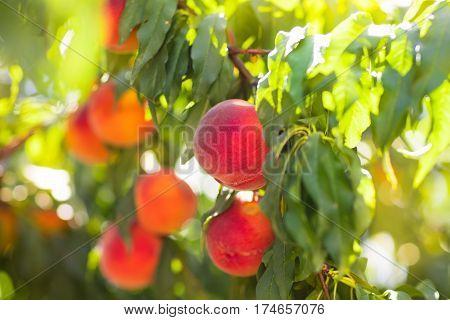Fresh Ripe Peach On Tree In Summer Orchard