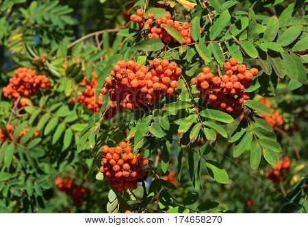Rowan tree with rowanberry in the garden
