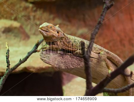 Close Up On Bearded Dragon ( Pogona Vitticeps)