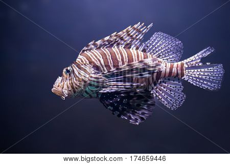 close up o lionfish pterois volitans in water