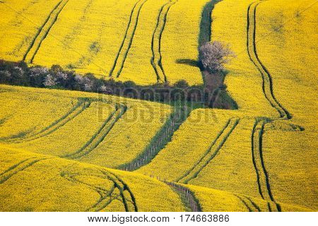 Wavy Yellow Rapeseed Fields In South Moravian