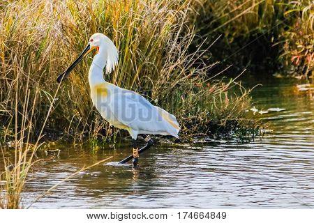 Eurasian spoonbill feeding in natural area named