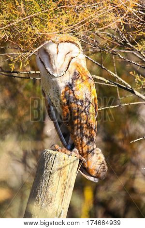 Barn owl perched on a fence post sunbathing in a sunny day in national park Donana in Huelva - Sevilla Andalusia Spain