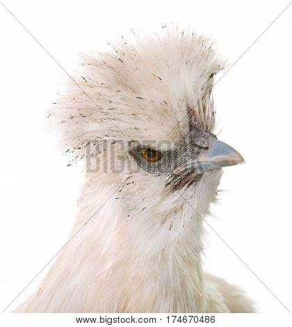white silkie chicken in front of white background