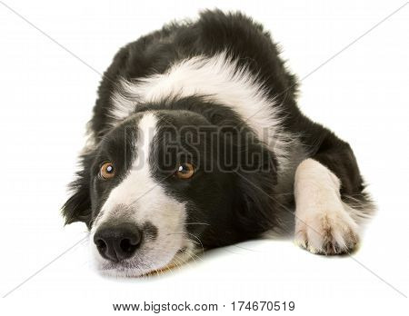 border collie in front of white background
