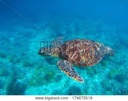 Sea turtle in water. Swimming sea turtle in blue water. Sea tortoise snorkeling photo. Cute green turtle photo. Oceanic animal in sea. Tropical waters life. Beautiful wild nature on tropic seashore.