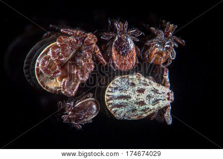 Human parasites ticks mites Ixodes scapularis or deer tick or blacklegged tick Dermacentor reticulatus or Ornate Cow Tick. Cause of viral infectious disease tick-borne encephalitis or TBE
