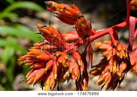 A view of Aechmea rubens bromeliad flowers