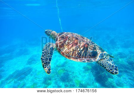 Sea turtle in water. Green turtle swimming in deep blue sea. Marine sanctuary in tropical island. Rare oceanic species. Sea life and animal in wild nature. Snorkeling photo. Nautical landscape