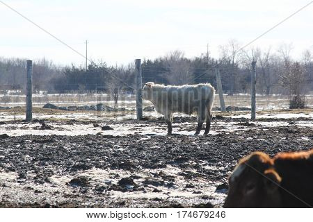 White cow standing alone near fence of a holding/transfer pen.