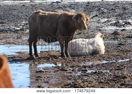A brown cow standing and a white cow down in a muddy area of a holding/transfer pen.