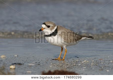 An endangered Piping Plover at the shoreline on a beach in Florida