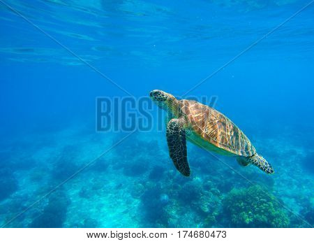 Swimming sea turtle in blue water. Sea tortoise snorkeling photo. Cute green turtle photo. Oceanic animal in clear sea. Tropical waters life. Beautiful wild nature on tropic seashore. Marine species