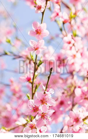 Pink color flower spring blossom on a beautiful cherry tree branch on a sky background full of bright sunlight