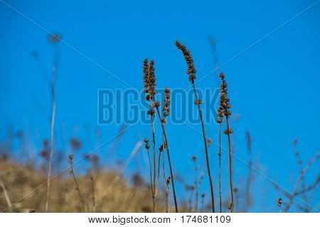 dry stalk of grass with the blue sky