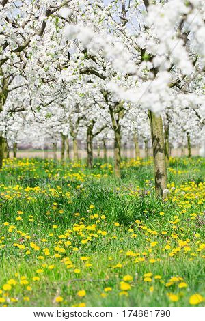 Spring blossom background in white flower budding plum tree and yellow dandelion meadow full of beautiful bright sunlight