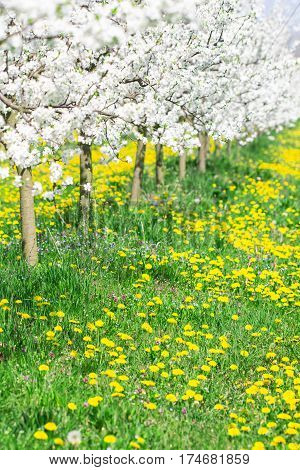 Spring day in a beautiful white blossom orchard and dandelion and green grass meadow full of sun and bright light as season and agriculture background