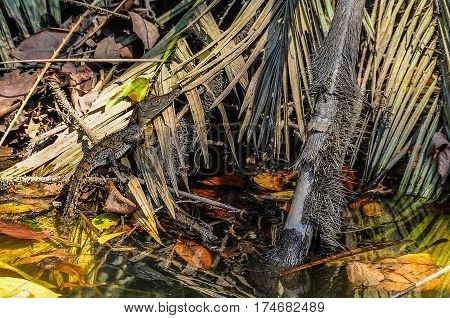 Baby Crocodile In Daintree Rainforest, Australia