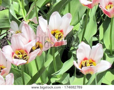 Border Legend tulip flowers in garden in Toronto Canada