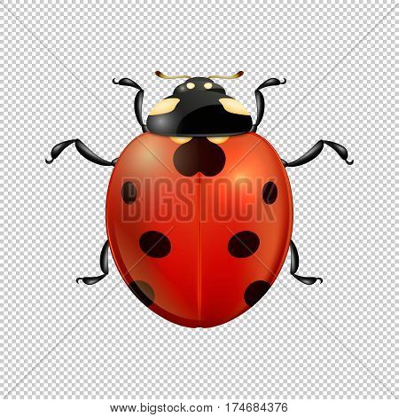 Vector close-up realistic ladybug insect icon isolated. Design template of spring symbol. EPS10 illustration.