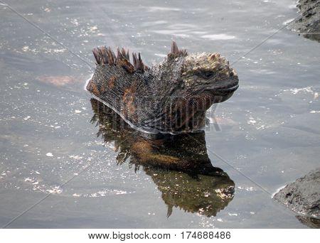 Galapagos marine iguana cooling in a tidal pool