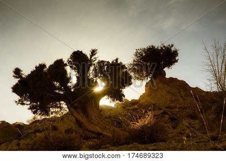 Sunset or sunrise through an old tree in the desert. Backlit