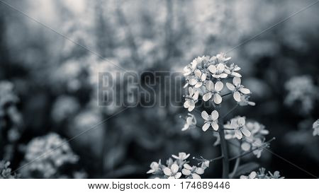 Close up mustard flower with black and white color.