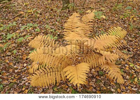 Fall Colors on a Fern in Black River State Forest in Wisconsin