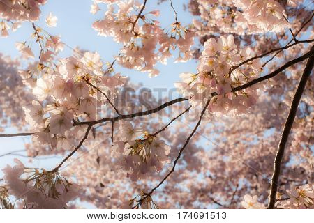Soft, pink cherry blossom canopy with backlighting