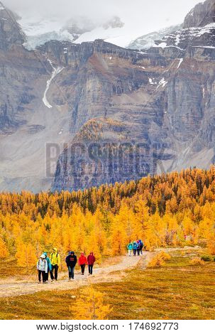 Lake Louise Canada - September 17 2016: Hikers walk past the golden larch trees in the Larch Valley near Lake Louise in Banff National Park Alberta with snow-capped Valley of Ten Peaks in the background. The popular hiking trail is crowded in the fall.