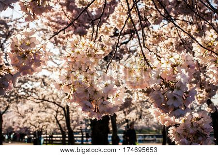 Low-hanging cherry blossom branches with morning backlight