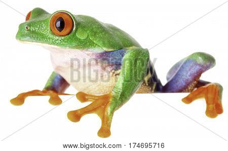 red eyed monkey tree frog on white background, a tropical treefrog from the exotic rain forest of Costa Rica Panama and Nicaragua
