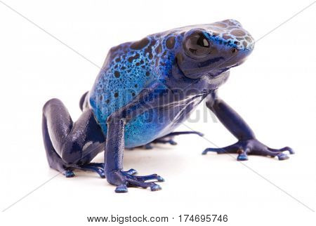 Dendrobates azureus, a vibrant blue poison dart frog from the tropical Amazon rain forest in Suriname. Isolated on white background.