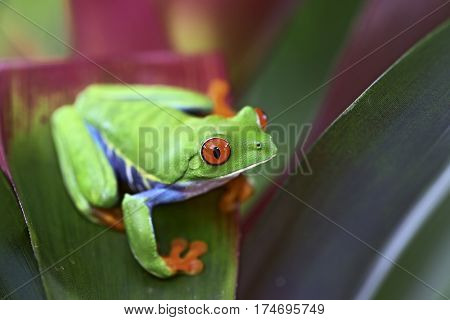 Curious red eyed tree frog in the tropical rain forest of Costa Rica