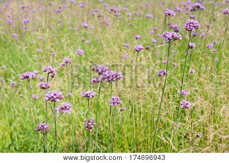 Tall pink verbena growing in a field of ornamental grass.