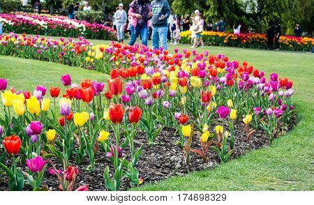 ourists come from around the world to walk through the tulip gardens during the Skagit Valley Tulip Festival